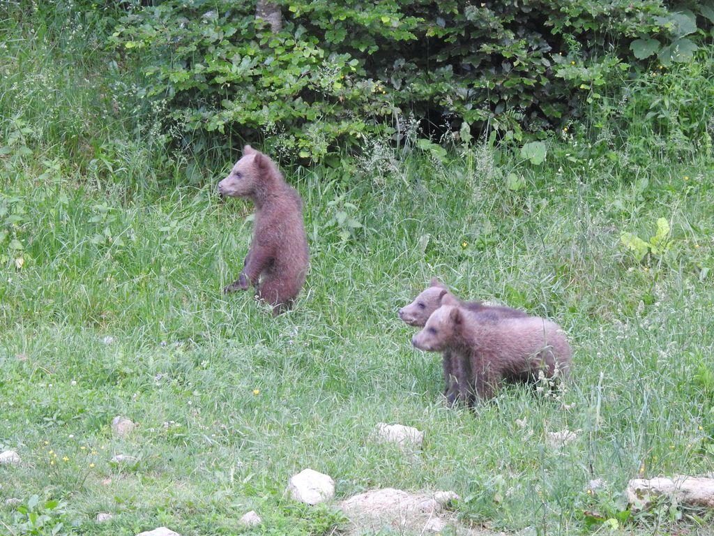 Glede na število medvedov v zadnjih letih je prisotnost posameznih mlajših medvedov blizu vasi kar pogosta. Foto: Urban K.