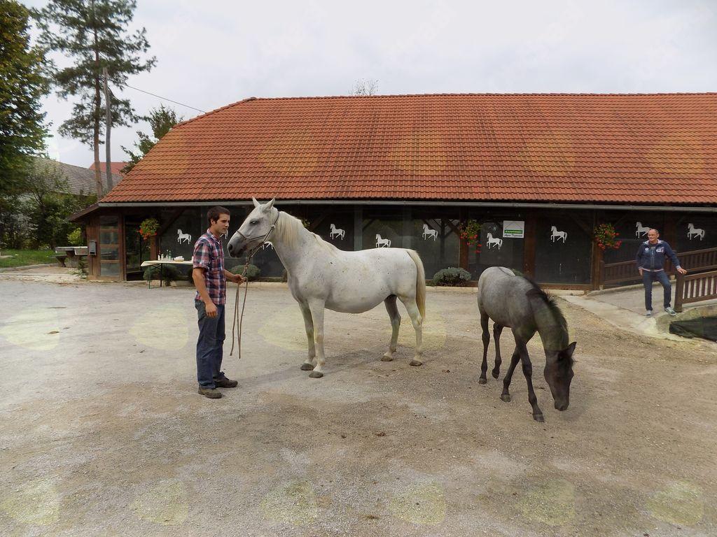 Kobilarna Hosta-gospodar predstavlja lipicance