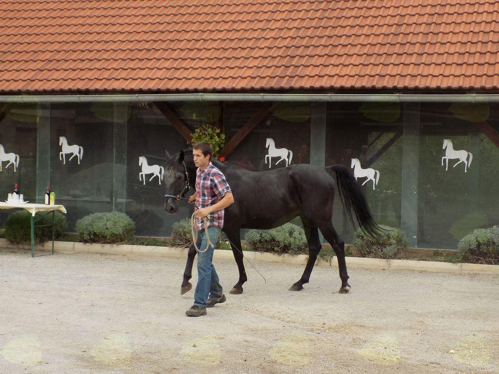 Kobilarna Hosta-ponosni predstavnik črnega lipicanca za razplod
