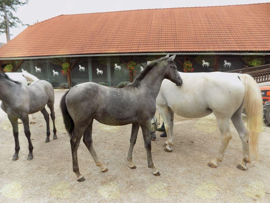 Lipicanci iz kobilarne Hosta