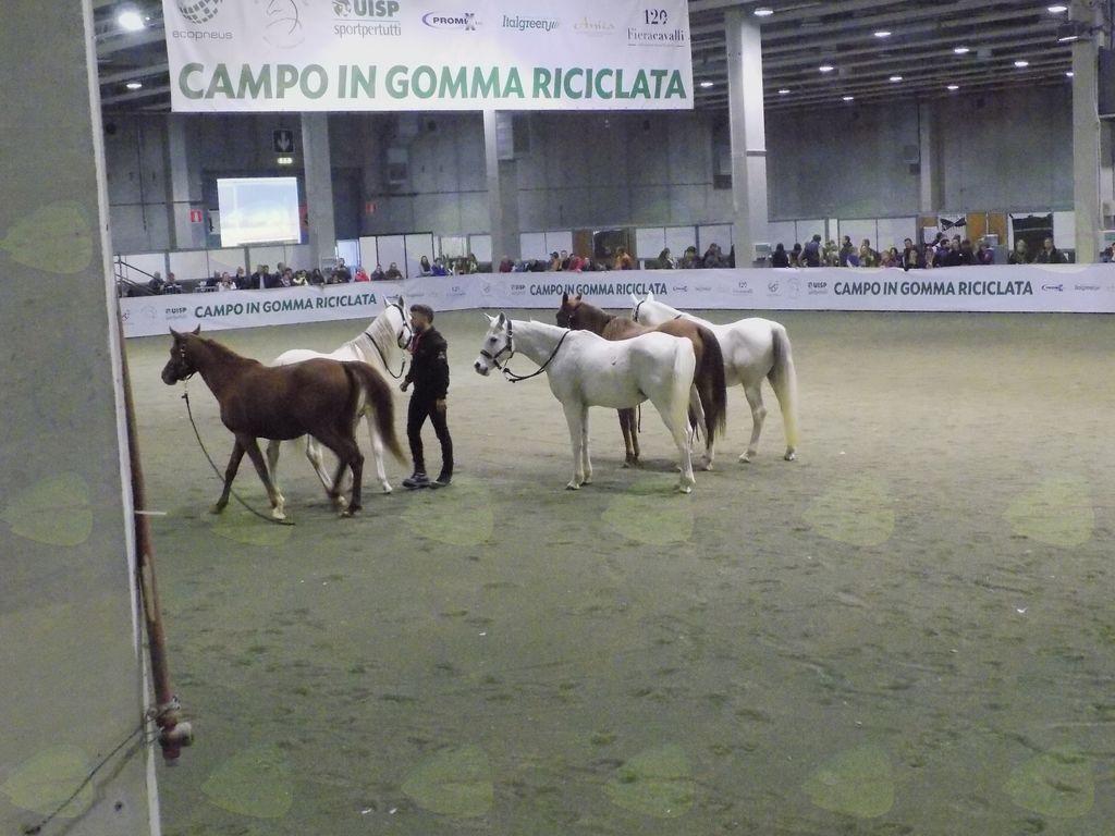 trening arabskih konj