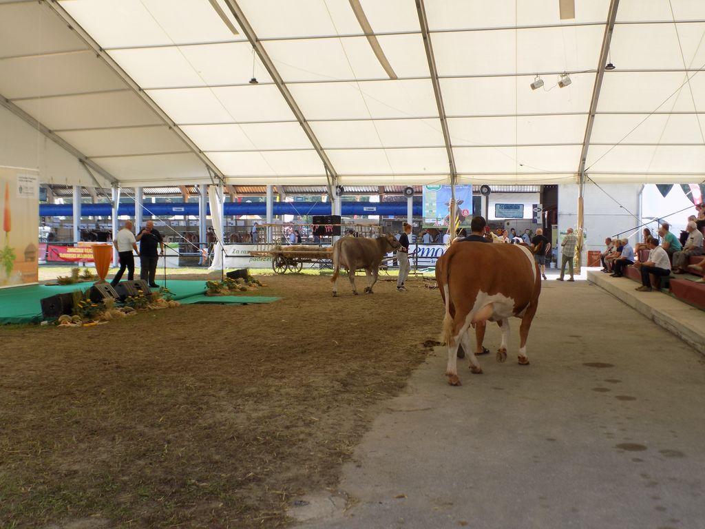 Predstavitev govedi na razstavni maneži