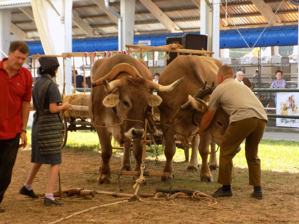 Prikaz vpreganja volov, težkih okoli 1200 kg.