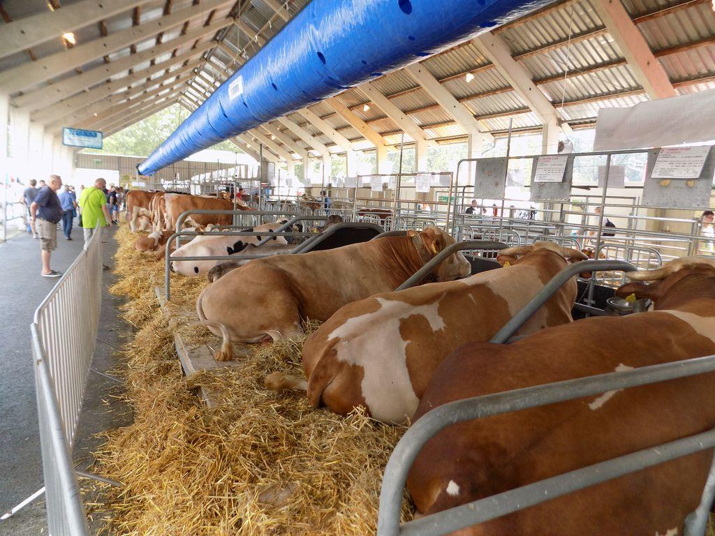 Razstava goveda