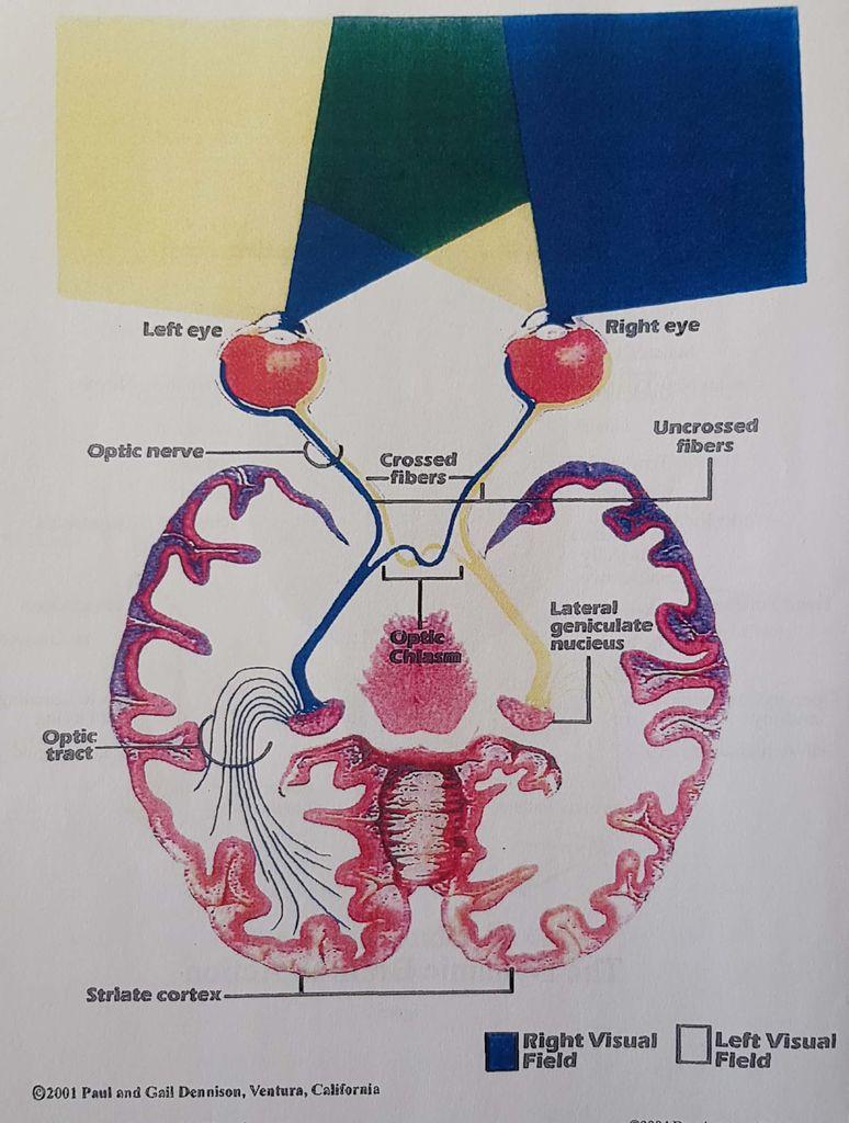 Optimalna organizacija možganov