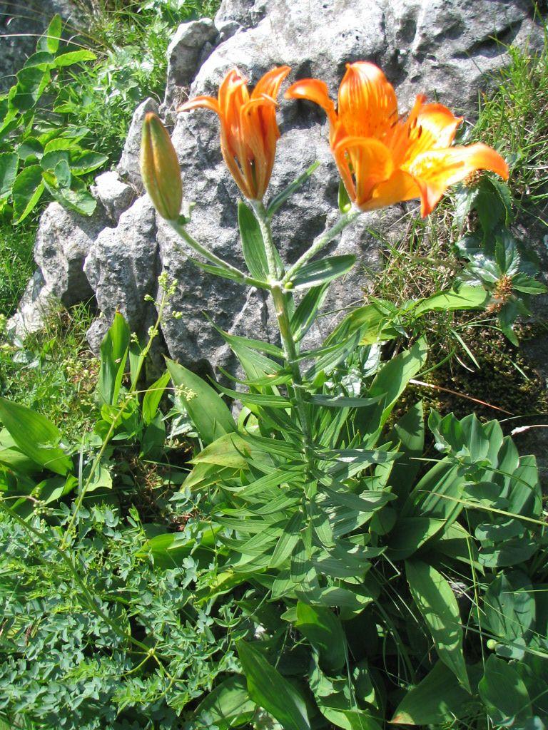 Čavenske rožice - brstična lilija