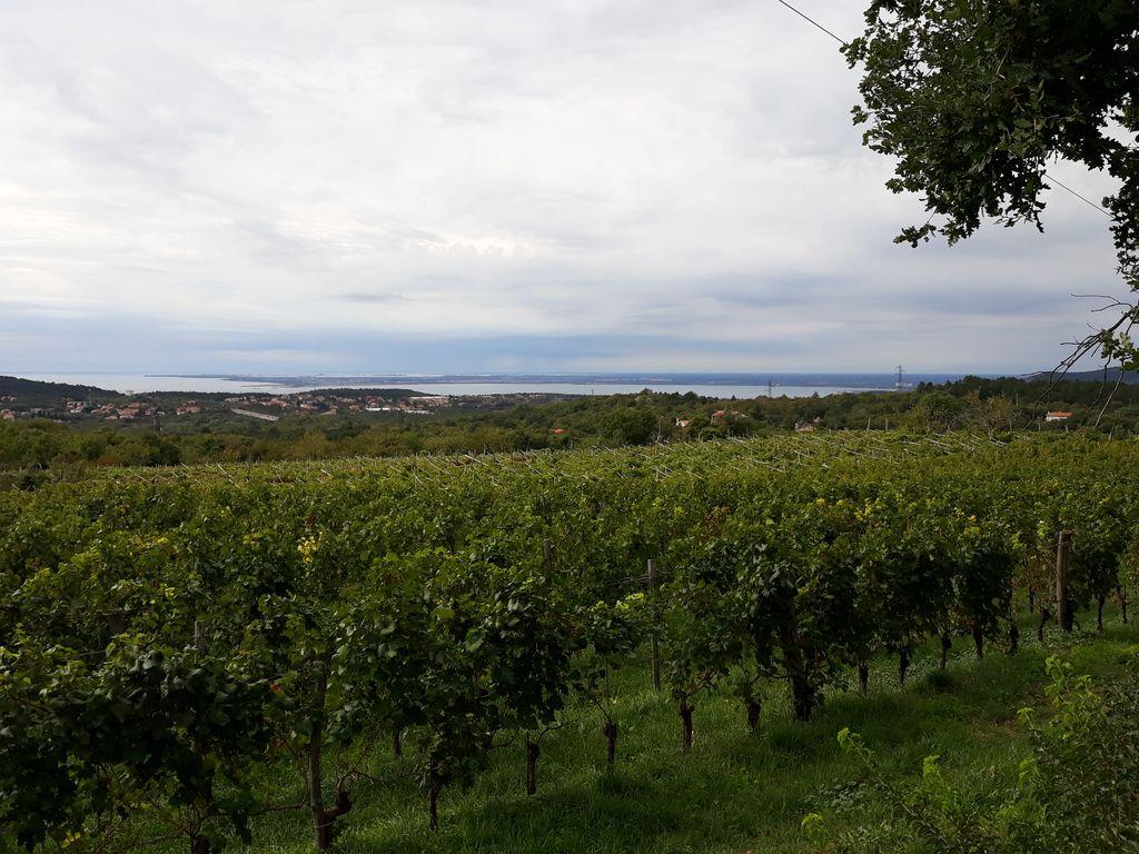Pogled na tokrat še povsem zelene vinograde