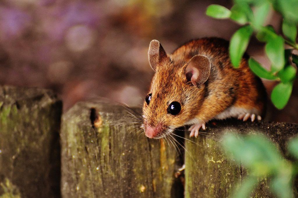 Previdno, v porastu je mišja mrzlica
