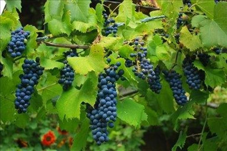 Obvestilo o varstvu vinogradov