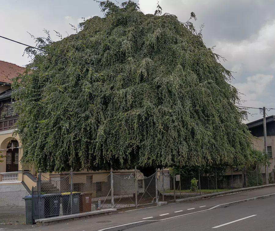 Drevo leta 2020 - povešava bukev, ki stoji na vrtu pred hišo na Vodnikovi cesti 93. Foto: arhiv