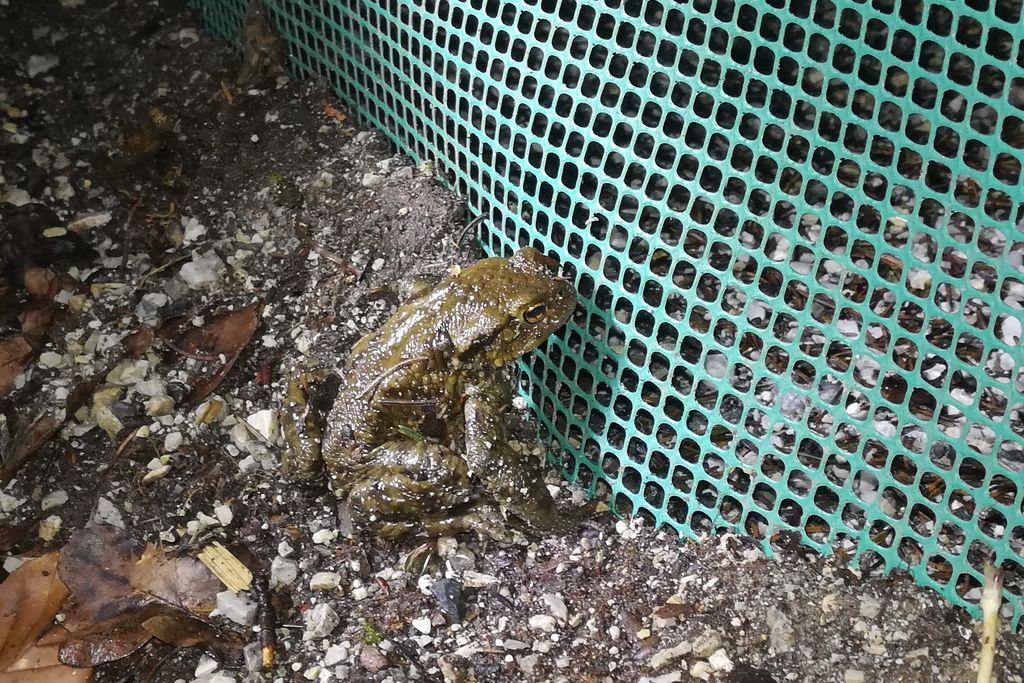 Žabam pomagamo čez cesto tudi na odseku Mengeš-Koseze pri Vodicah