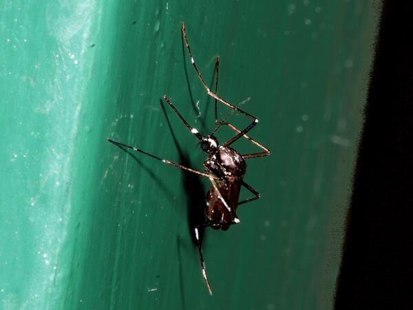 Samica tigrastega komarja. Foto: Tomi Trilar