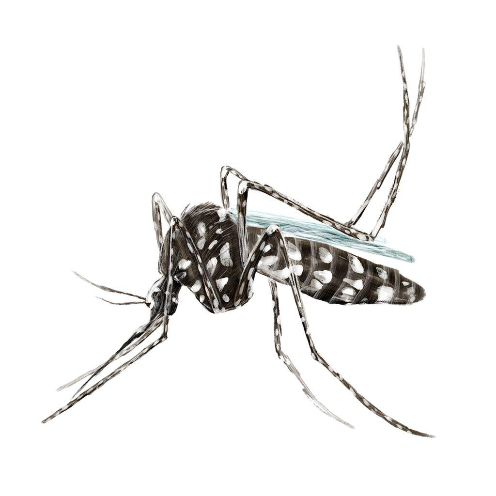 Tigrasti komar