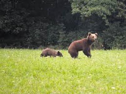 OPOZORILO – medved