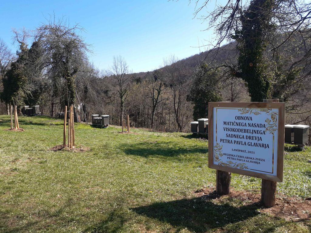 Obnova matičnega nasada visokodebelnega sadnega drevja Petra Pavla Glavarja