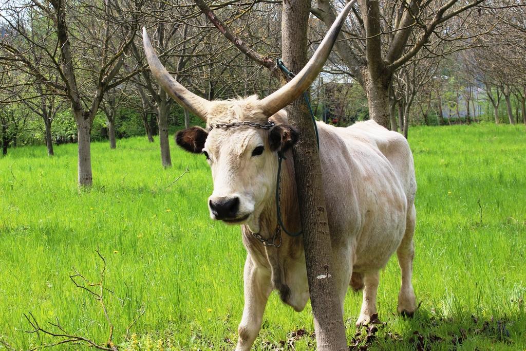Madžarsko sivo dolgorogo govedo
