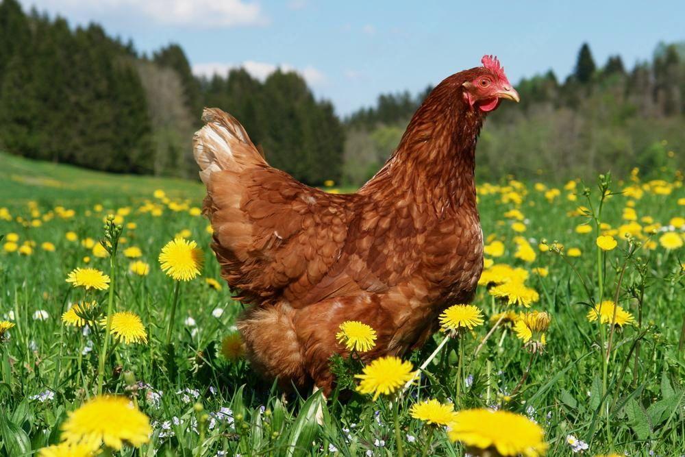 Razveljavitev ukrepov zaradi aviarne influence