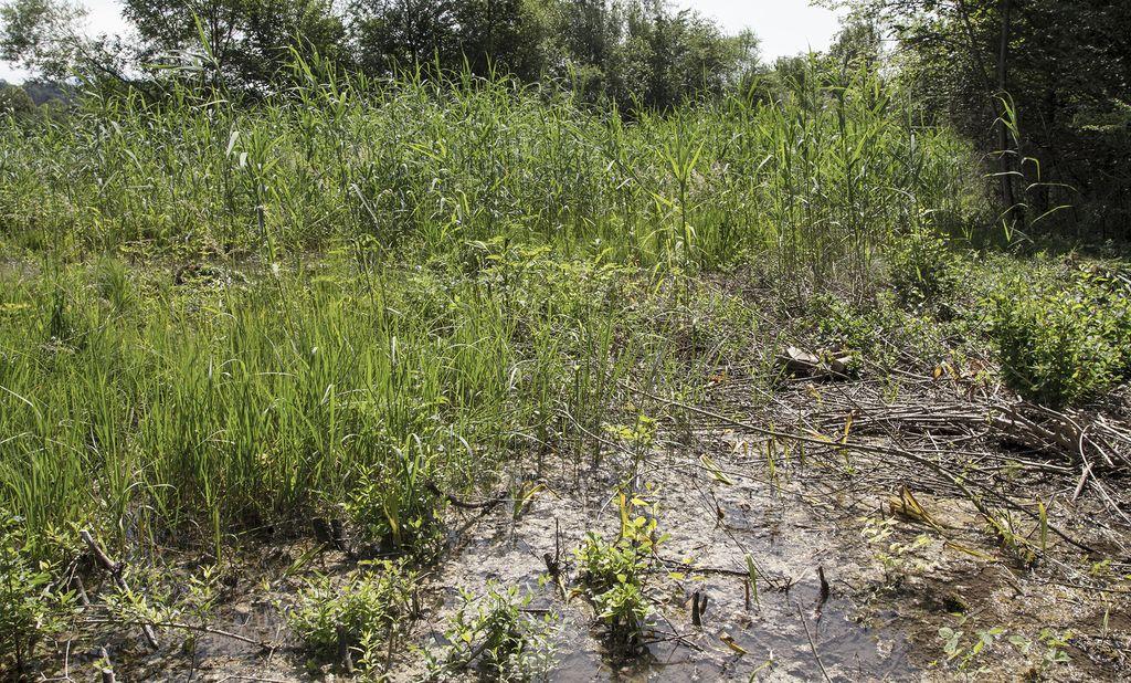 Akcija odstranjevanja invazivnih tujerodnih vrst v Bodeščah