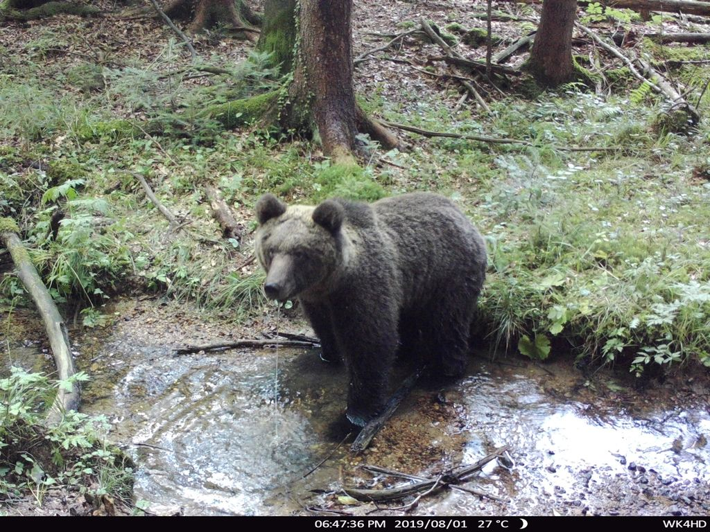 OPOZORILO - Pri poligonu AMZS je bil posnet medved