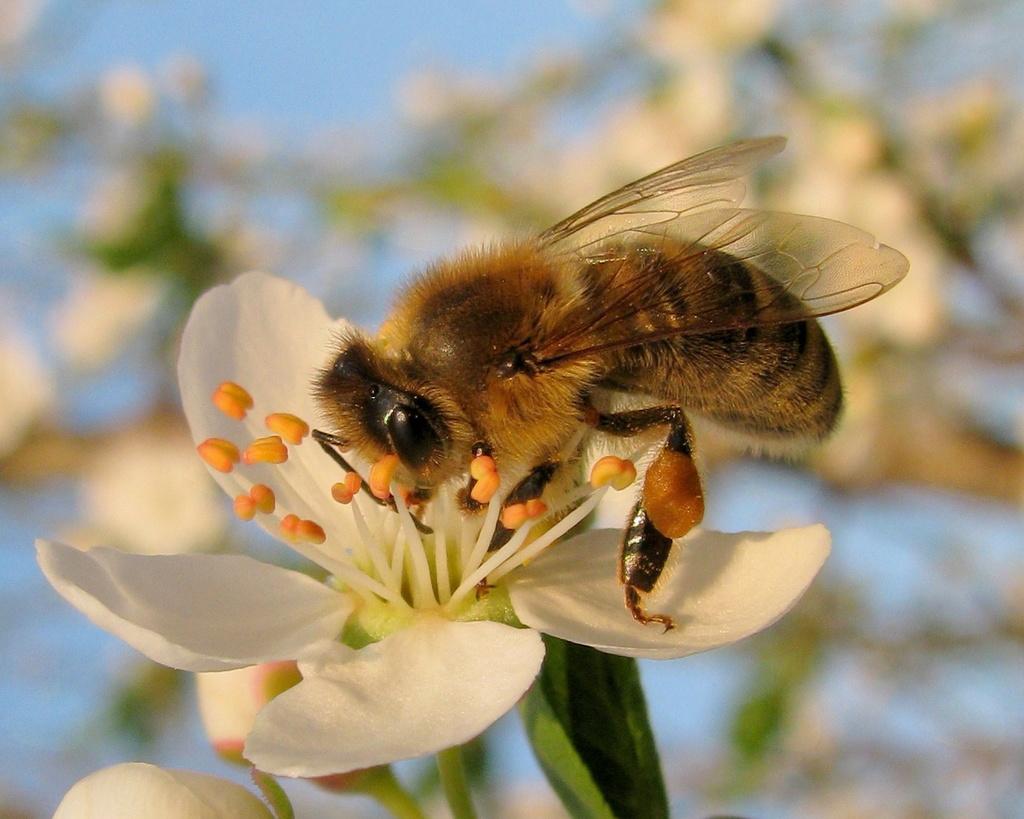 Pomen sajenja medovitih rastlin