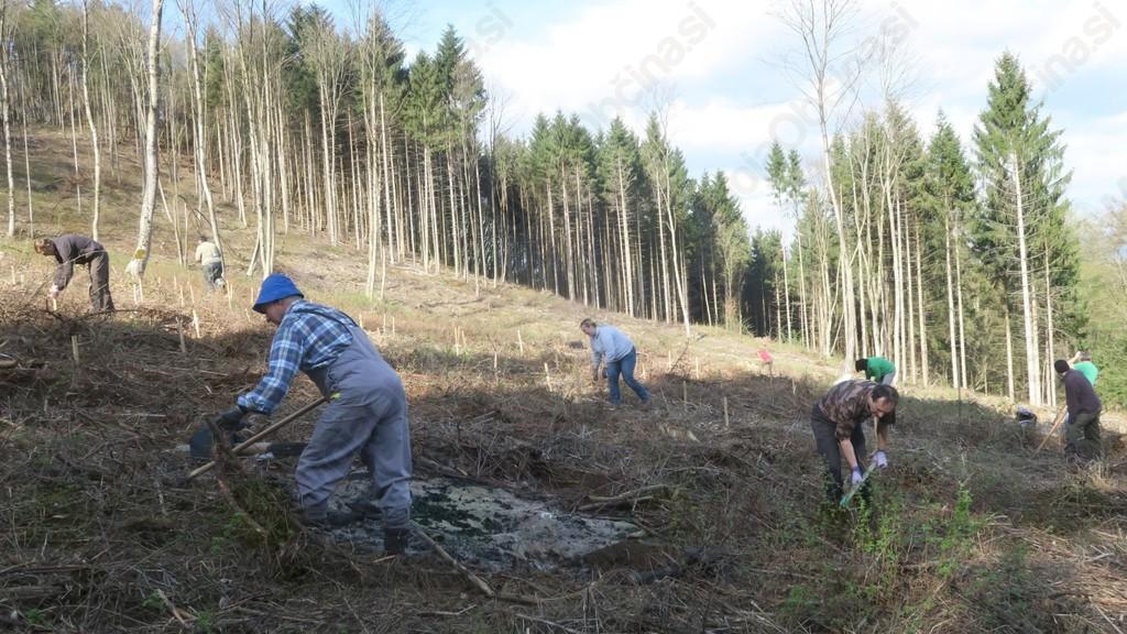 Škodo v gozdovih lahko omilimo z zasaditvijo puljenk bukve