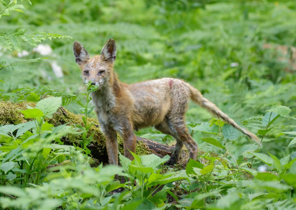Garjava lisica