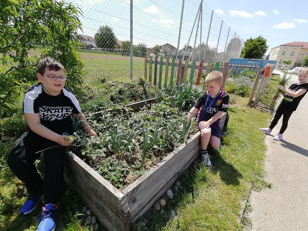 Mladi vrtičkarji v OŠ Cirkovce zopet aktivni na šolskem vrtu