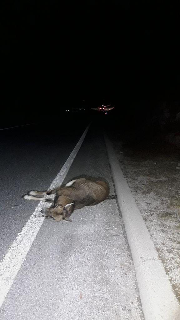 Povožena muflonka v Mačkovcu