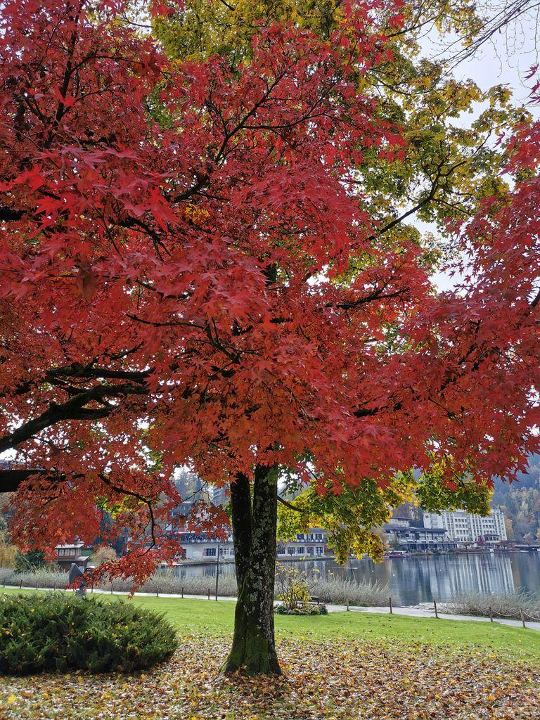 Japonski rdečelistni javor raste v vsej svoji lepoti!