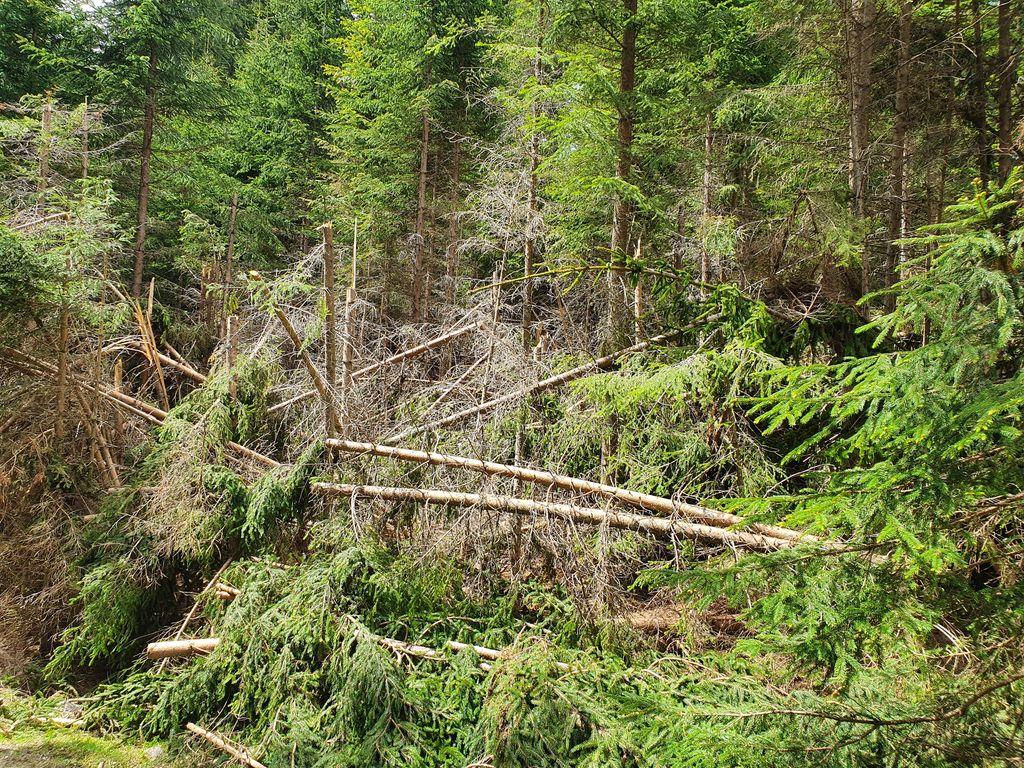 Poškodovano drevje, foto Zavod za gozdove Bled