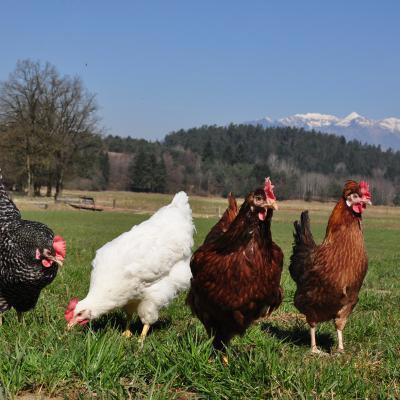 Dopolnilna odločba - aviarna influenca