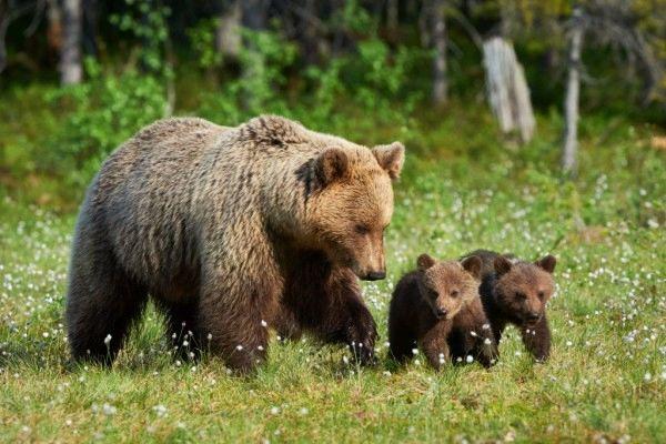Simbolična slika medvedke z mladičem