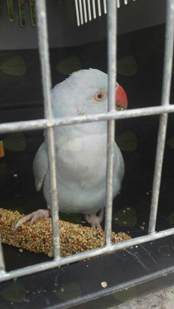 Najdena papiga v Žabnici