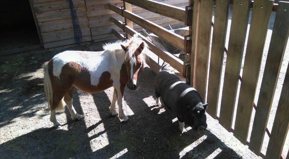 V posebni ogradi imajo koze in vietnamske prašičke, v prihodnosti bodo dodali še golobe, kokoši in purane