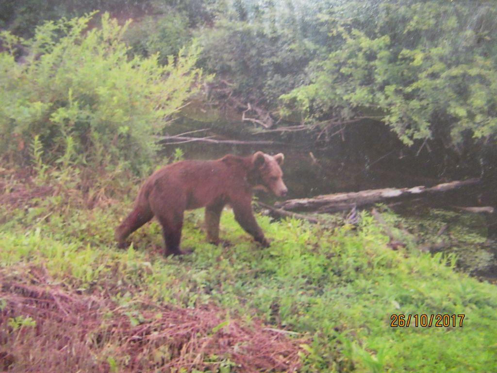 Slike medveda, ki jih je naredil lovec, sedaj že pokojni Stane Čuden.
