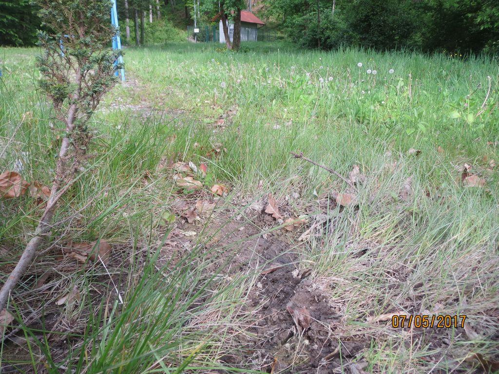 Medvedje praske po tleh in obglodane ciprese.