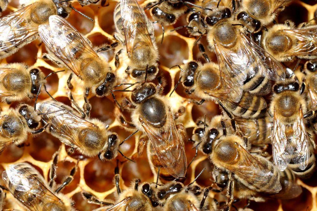 Čebele – marljive žuželke