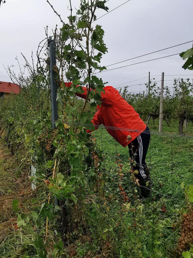 Neurje s točo oklestilo vinograde