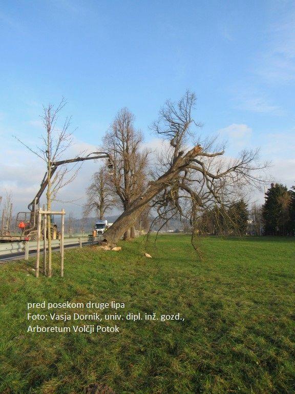 Konec novembra odstranili nevarni lipi v »Napoleonovem« drevoredu