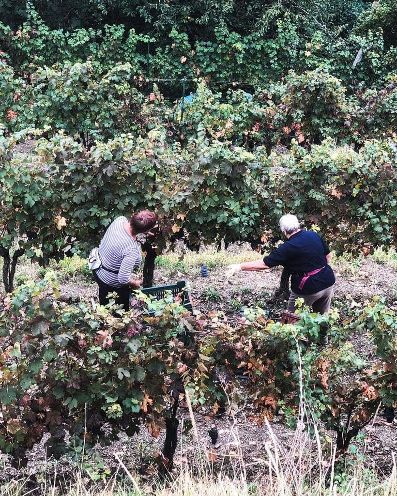 Goški vinogradi pobrani
