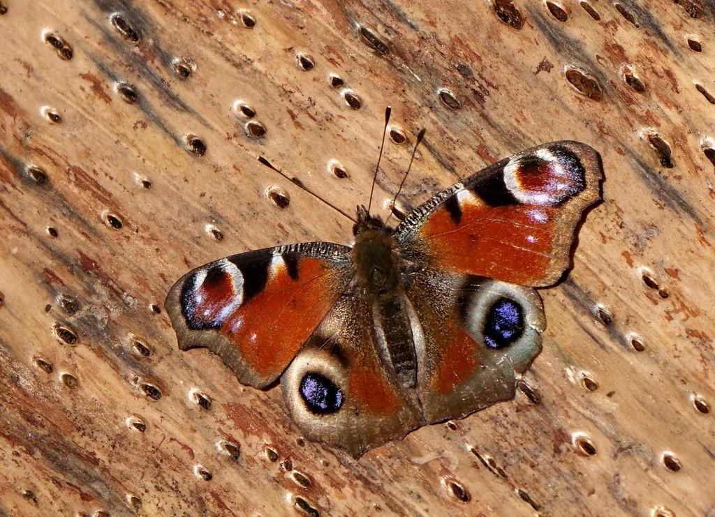 Razstava fotografij dnevnih metuljev Slovenije