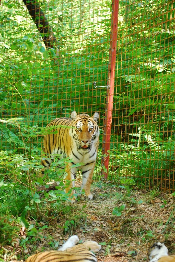 Sibirski tigri na Vrzdencu