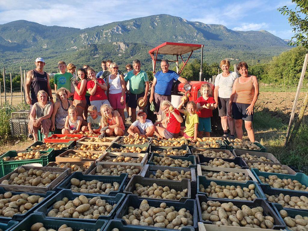 Pobiranje krompirja po starem