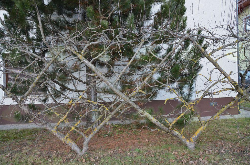 Umetelno oblikovano sadno drevje