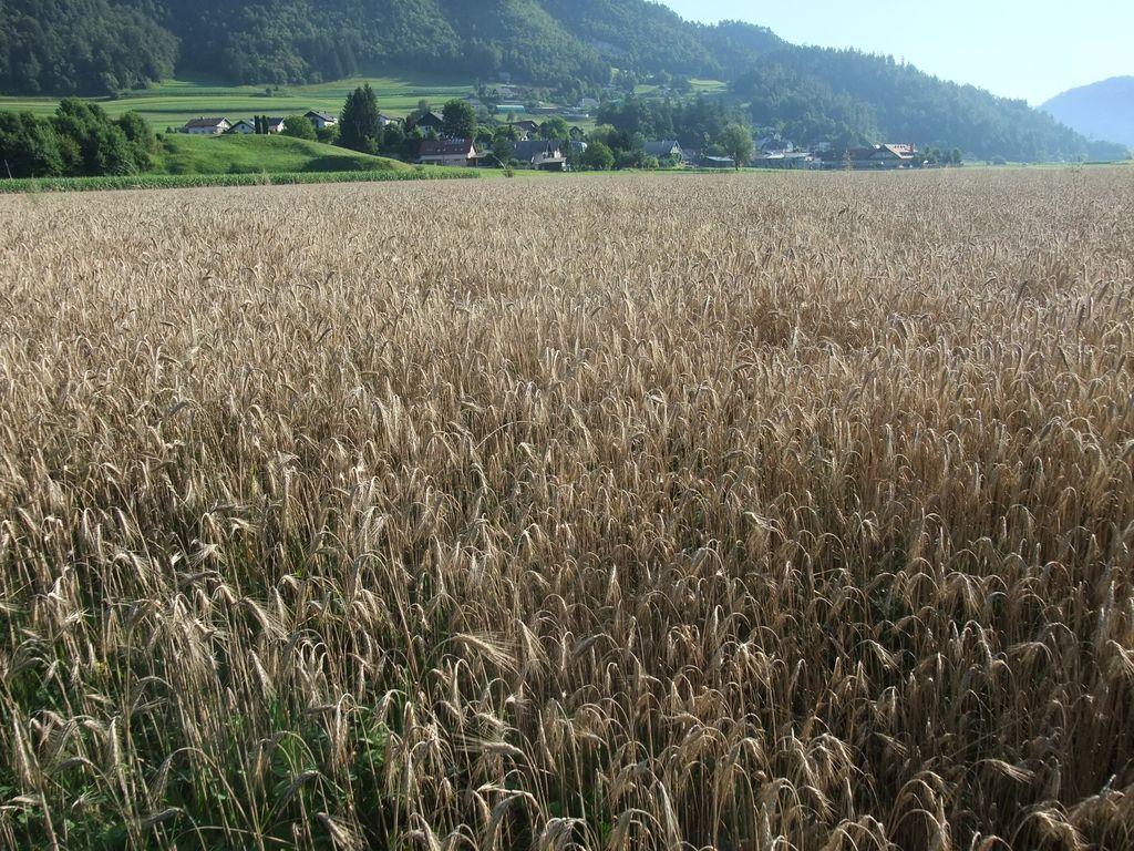 Žitno polje v Srednji vasi. Fotografirano konec julija 2020.