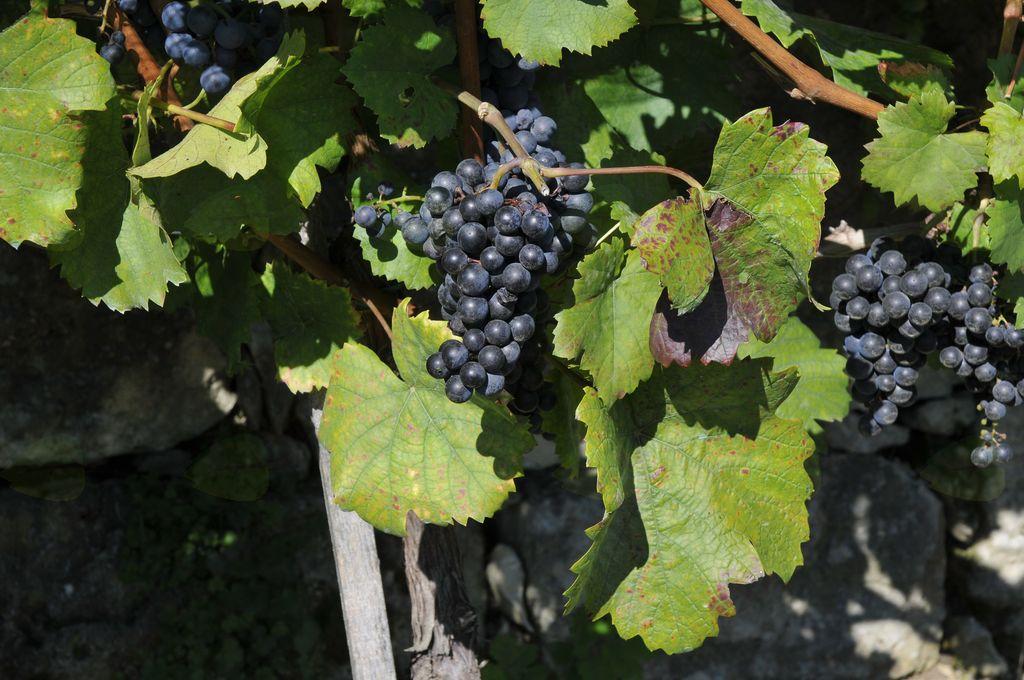 Modra frankinja kot osnova vinskega turizma v Sevnici