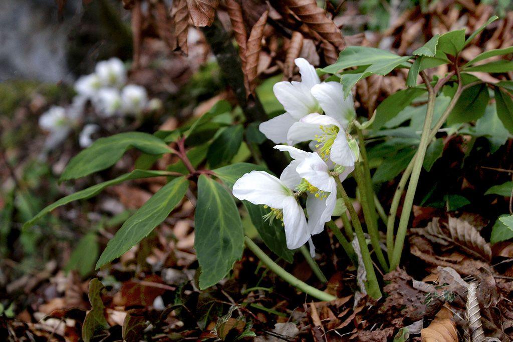 Cvetoči črni telohi so že naznanjali pomlad. Navsezadnje pa prave zime sploh še ni bilo.