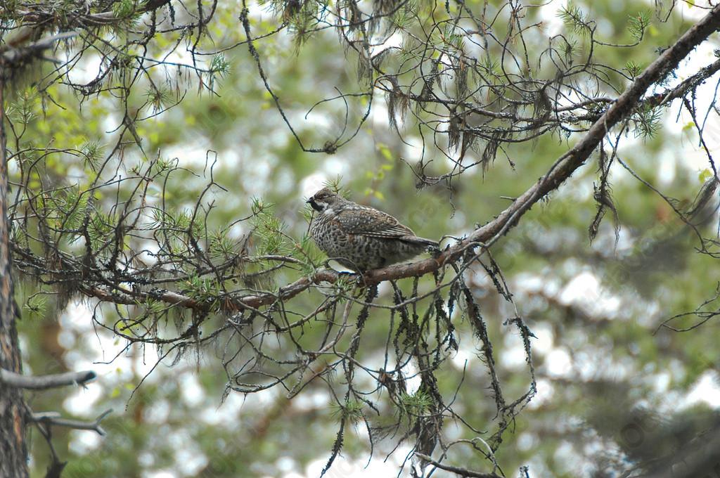 Če ste v zadnjem času v Kočevskem rogu videli gozdnega jereba, sporočite!