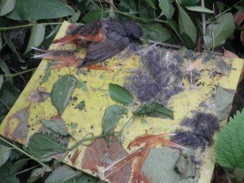 Rumene lepljive plošče – smrtonosna past za ptice