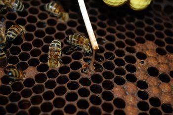 Obvestilo občanom - huda gniloba čebelje zalege - kužni krog Vinska Gora